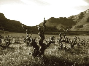 20140420-voetpad-old-vines-credit-swartland-region-wines-of-south-africa